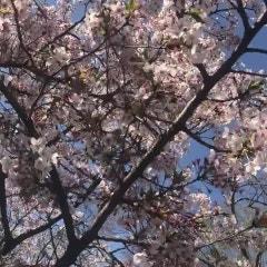희망의 새봄!벗꽃만개한 교토에서비