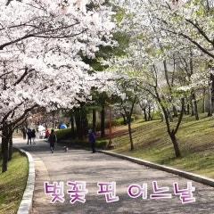 벚꽃 엔딩 (중앙공원에서 율동공원까지)