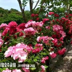 장미꽃 만발한 풍암호수공원