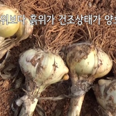 코끼마늘 수확후 건조 보관법