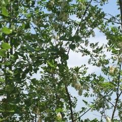 뽕디가 전하는 20초 힐링 ~제 1탄#미루나무 꼭대기에 걸려있는 것은...