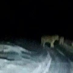 [러시아] 도로에 나타난 한국호랑이