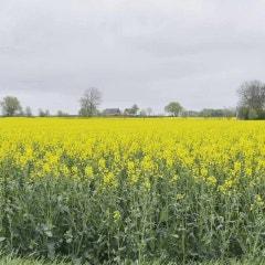 덴마크의 5월 들판은 온통 Yellow and Green!! - 노르딕파크 북유럽/덴마크 컬렉팅투어
