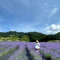 정읍허브원 라벤더 보라보라 꽃밭