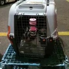 인도네시아 자카르타 공항에서 한국 인천공항으로 도착한 프렌치불독 강아지 레종이 인도네시아 동물검역 동물운송 출국 입국 비행기 탑승 수입허가서