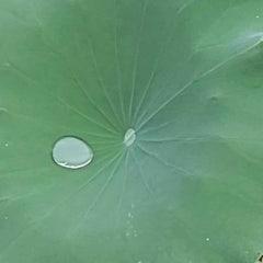한방 연꽃차 연잎차 연꽃잎주머니차 만들기