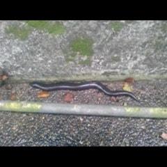 뱀인가 도마뱀인가?