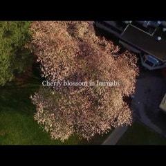 캐나다 공원 캐나다 드론 Cherry blossom in Burnaby