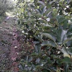 사과밭 아침 풍경