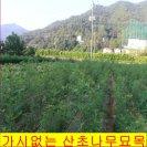가시없는 산초나무묘목 접을 붙인 우량품종의  민산초나무