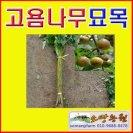 TD16(성모)고욤나무묘목(실생2년생 15그루)고욤나무판